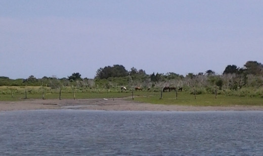 Watching the wild ponies frolic in their refuge on Assateague Island.
