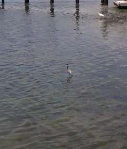 Little blue heron catching fish by the boat docks.