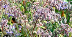 Health Benefits and Other Uses for Borage
