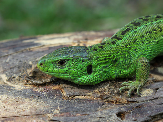 The vivid green flanks of  the male sand lizard are breeding colours developed in late spring. The green fades gradually as the summer passes.