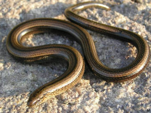 Many older male slow worms have bluish spots on their backs and flanks, especially near the head. No reason for this colour variation is yet known.
