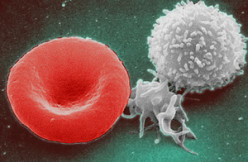 Importance of White Blood Cells