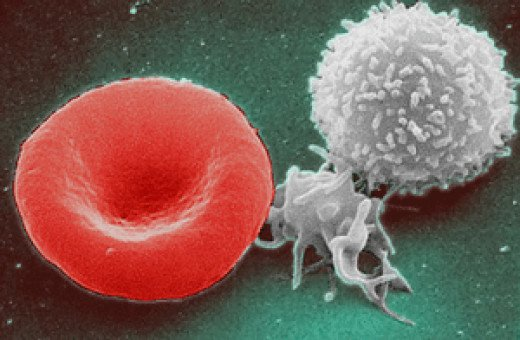 White blood cell together with red blood cell.