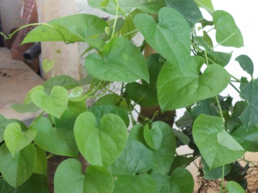 Guduchi/Giloy/Amrita Balli Supports Liver Function According To Ayurveda