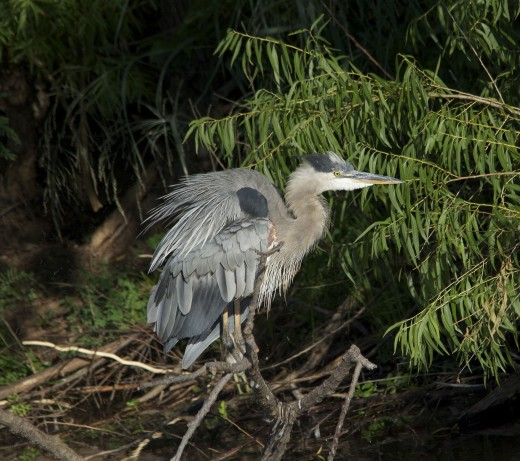 Great Blue Heron, One of Normal Winter Residents