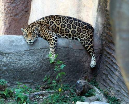 Leopards love relaxing in the trees in a natural environment at the Little Rock zoo in Arkansas.