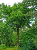 Butternut or White Walnut. Study of Trees-5