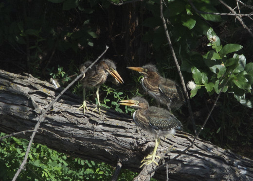 Three out of four Green Heron Fledglings