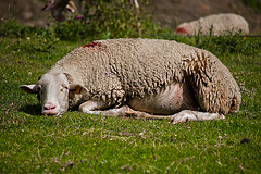Look, the sheep fell asleep faster than you.