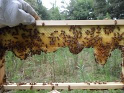 Honey Health Benefits, Raw Honey vs Sugar