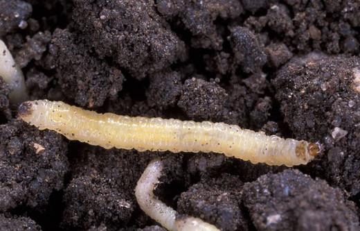 Cucumber Beetle Larvae