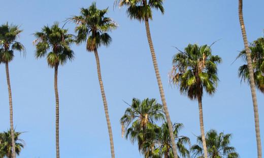 The Washington Robusta Palm