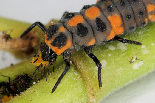 Ladybug Larva Consuming An aphid. Ladybug Larva and ladybugs consume aphids in large numbers.