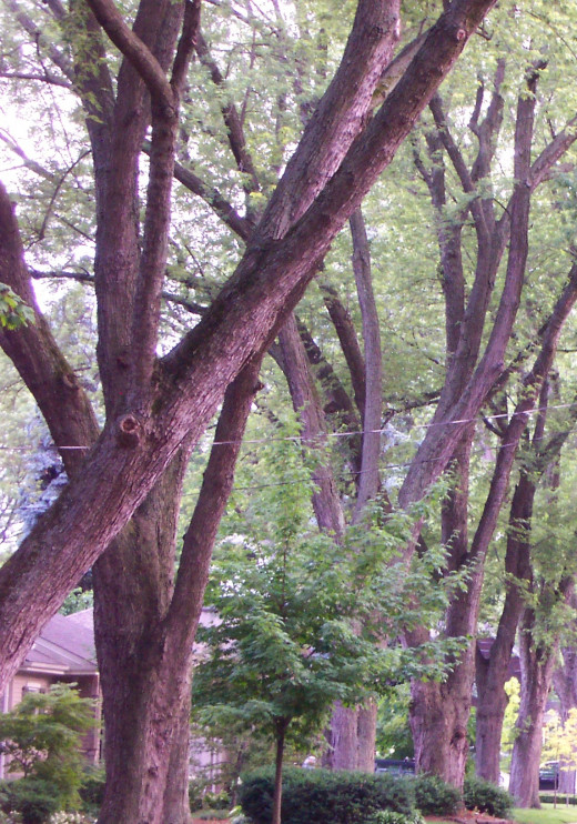 Old trees in Roseland residential area of Burlington, Ontario, posted by a Real-Estate-Agent