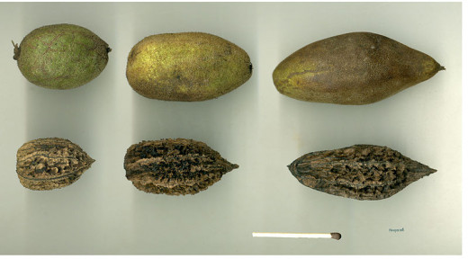 Fruit { seed capsules} above the Kernel {nut} below.
