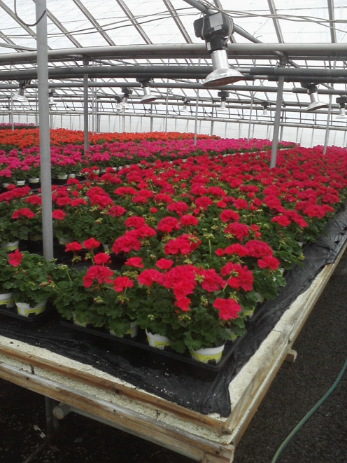 Table full of zonal geraniums being grown using Integrated Pest Management.