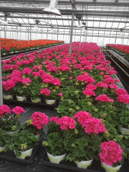 Pink flowering zonal geraniums using Integrated pest management in the greenhouse operation.