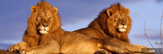 Asiatic Lion Pair