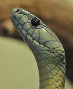 The Black Mamba; Beautiful, Deadly, and Making Medical History