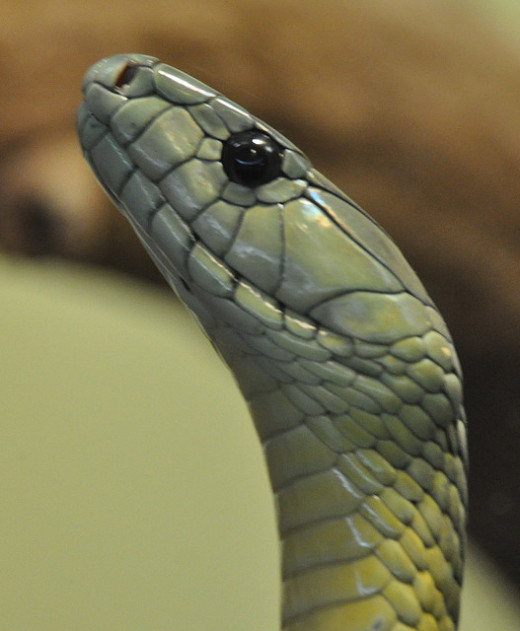 The Black Mamba's eery gaze.
