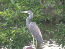 Breeding adult male tricolored heron in breeding stage, plumes down. Note the more bluish legs and face.