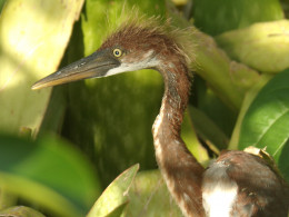 Juvenile bird. Notice the yellow eyes, grayish yellow beak and rust colored body with white underside.