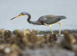 Non breeding adult: Notice the more yellowish legs and beak rather than the more bluish during breeding season.