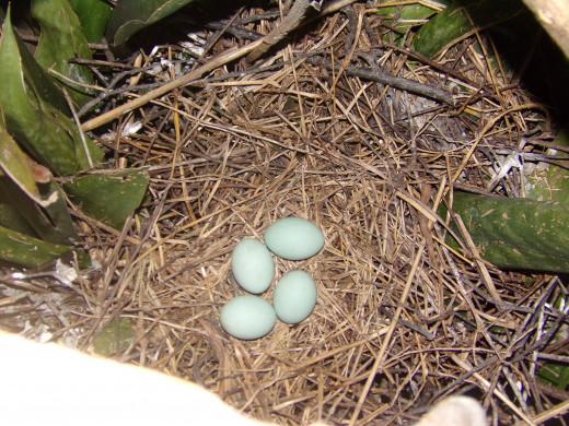 Four bluish eggs