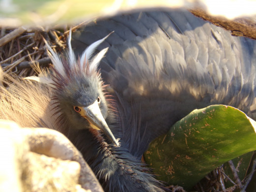 Parent bird displaying breeding plumage