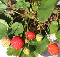 Here is a picture of a potted strawberry plant that is growing with ripe strawberries on. In which could be used to  plant in a hanging basket. But first pick off the ripe strawberries.