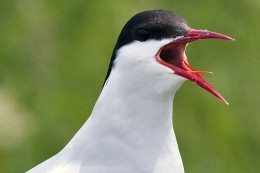 Note there is no black tip to the bill of the Arctic tern