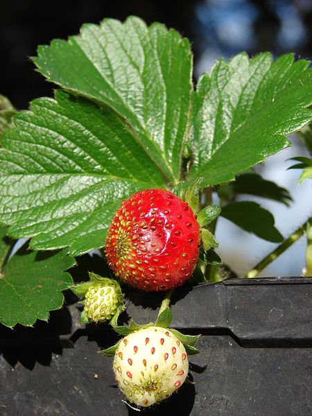A potted strawberry plant that you can buy at your local greenhouse or garden center or nursery that sells strawberry plants. In which you can plant in a strawberry basket.