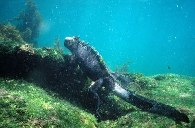 Marine Iguana foraging for food in the ocean. Where else but Galapagos?