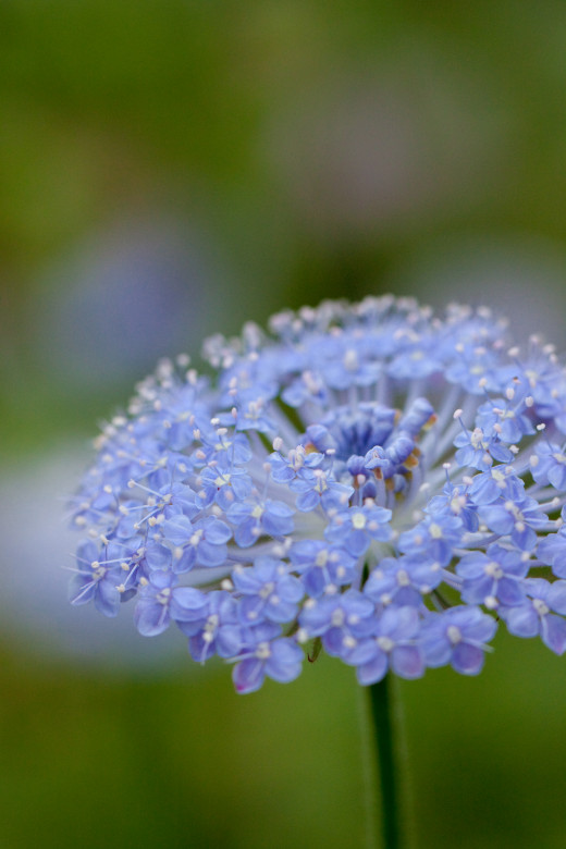 Blue Lace Flower