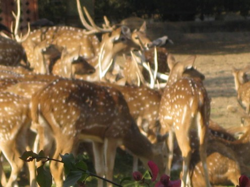 Grazing deers at Deer park, Jaipur zoo