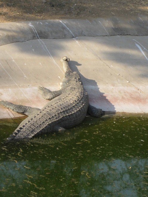 Alligator, coming out from water