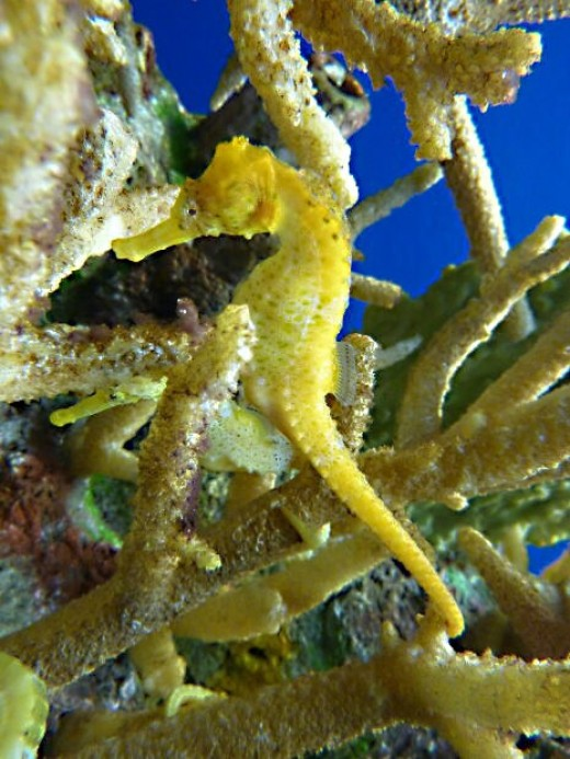 Seahorses can make clicking sounds.