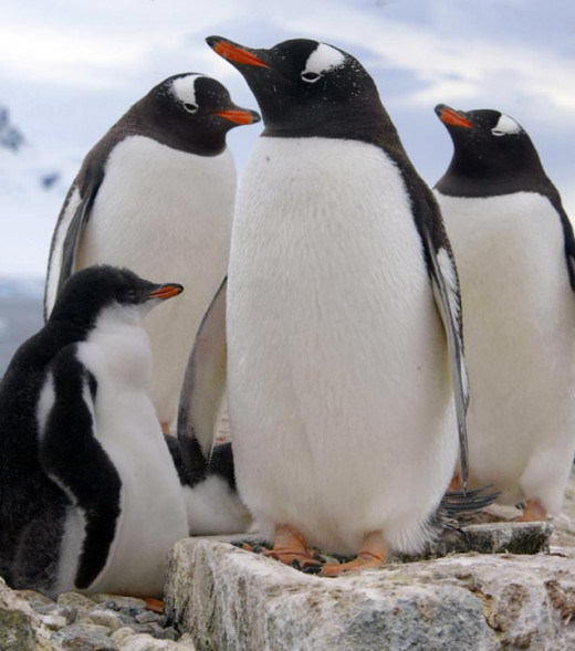 There are four main species of penguins on Macquarie: Kings, Royals, Gentoos, and Rockhoppers - entotal, arouind three million of them!