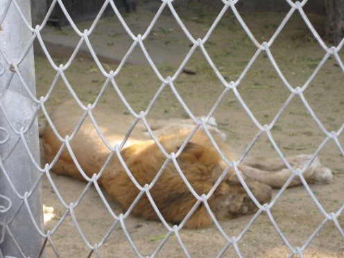 Lion Sleeping in Jaipur Zoo 1