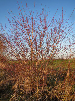 There was confusion in the past between our subject and the unrelated Cornus sanguinea
