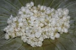 Jasmine - Plants, Flowers And Uses