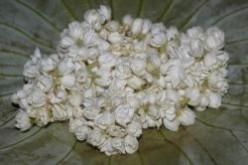 Jasmine - Plants, Flowers And Uses