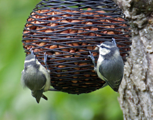 This bird feeder made with old netting attracted dozens of blue tits to a peanut feast.