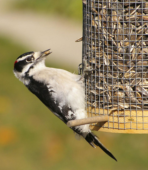 A male downy woodpecker eating seed at a bird feeder made from fence wire in southwestern Ontario, Canada.