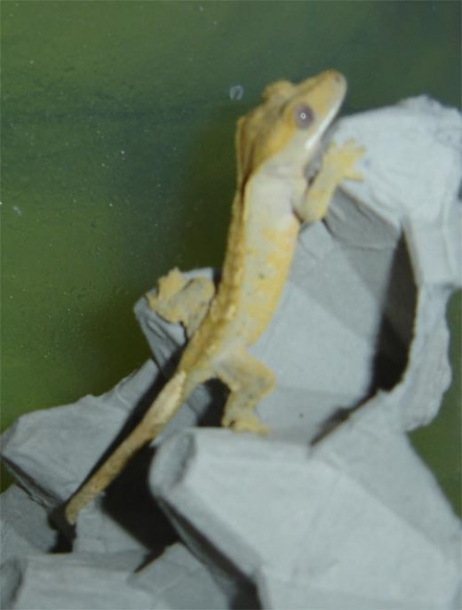Crested geckos use their tails to help stick to vertical surfaces.