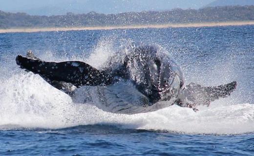 Humpback Wale, Australia