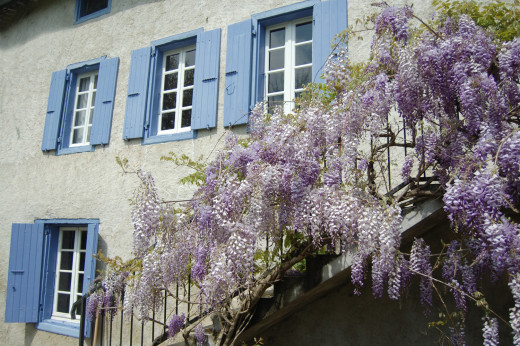 The wisteria in spring