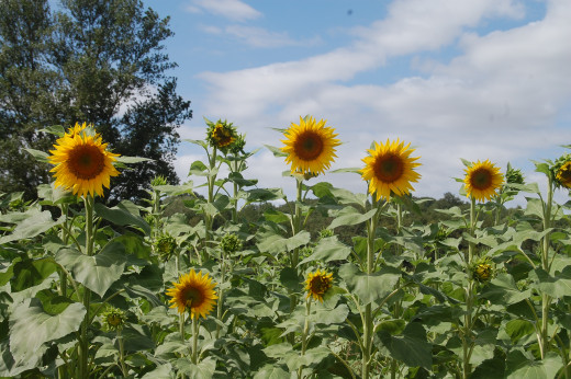 Sunflowers - Issel