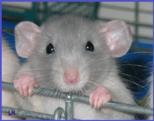 Rats: The World's Most Underrated Pets