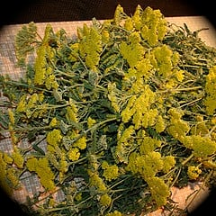 Dried yarrow bundles ready to be used in wreaths and arrangements..